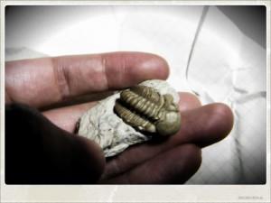 三葉虫の化石